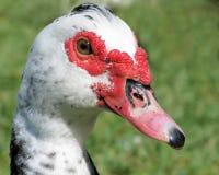 (1) kaczka Muscovy Zdjęcia Stock