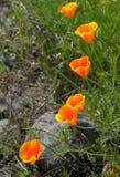 1 Kalifornien vallmor Royaltyfria Bilder