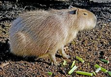1 kapibara Fotografia Royalty Free