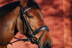 (1) kierowniczy koń Fotografia Stock