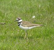 1 killdeer Obrazy Royalty Free