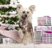 1 kines krönade gammala år för hund Arkivbilder