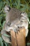1 koala Стоковые Фотографии RF