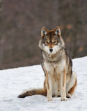 (1) kojot Zdjęcie Royalty Free