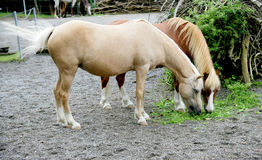 1 koni Zdjęcie Royalty Free