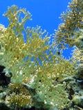 1 korallbrand Royaltyfria Bilder