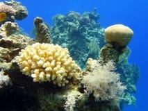 (1) koralowy niezwykły Obraz Royalty Free