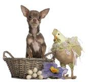 (1) koszykowego chihuahua Easter stary siedzący rok Obrazy Royalty Free