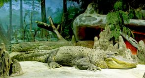 1 krasnolud krokodyli obraz royalty free