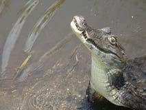 1 krokodil Royaltyfria Bilder