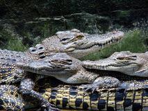 1 krokodillantgård Royaltyfri Fotografi