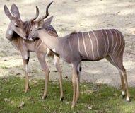 1 kudu μικρότερος Στοκ φωτογραφία με δικαίωμα ελεύθερης χρήσης
