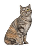 1 kurilian gammala år för bobtail katt Royaltyfri Fotografi