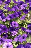 (1) kwiaty purpurowi Zdjęcie Royalty Free