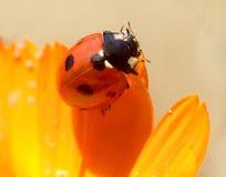 1 ladybird Стоковое Изображение