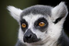 (1) lemur Fotografia Royalty Free