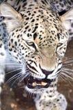 1 leopard αρσενικό Στοκ Εικόνες