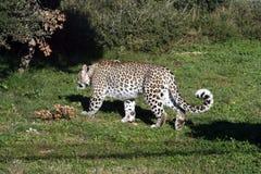 1 leopardwhite Royaltyfria Foton