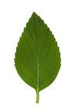 1 liści, obrazy stock