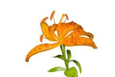 1 lilja för distichumblommalilium Royaltyfri Bild