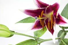 1 liljatiger Arkivbild