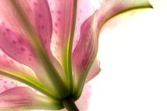 1 lilly стоковое изображение rf