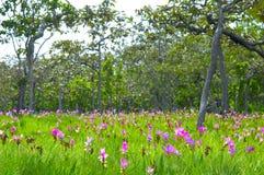 1 lily Syjamu dziki kwiat Fotografia Stock