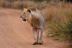 1 lion Arkivfoto