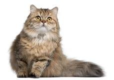 1 longhair gammala år för brittisk katt Arkivfoton