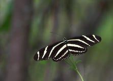 1 longwing sebra för fjäril Royaltyfri Fotografi