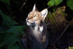 1 lynx Стоковое Фото