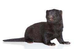 1 månad för amerikansk mink Royaltyfri Foto