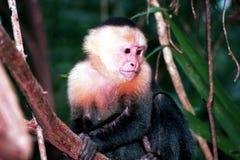 1 małpa Zdjęcia Stock