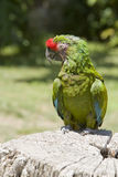 1 macaw стоковые фотографии rf