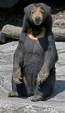 1 malayan sun för björn Fotografering för Bildbyråer