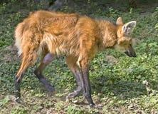 1 maned wolf Arkivfoto
