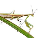 1 mantis травы лезвия Стоковая Фотография