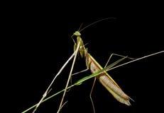 1 mantis травы Стоковое Фото
