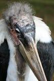1 marabu πουλιών Στοκ Εικόνα