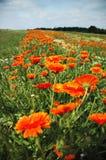 1 marigold στοκ εικόνα με δικαίωμα ελεύθερης χρήσης