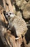 1 meerkat Стоковые Изображения