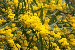 1 mimosa κίτρινο Στοκ φωτογραφία με δικαίωμα ελεύθερης χρήσης