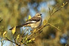 1 mockingbird Стоковое Изображение RF