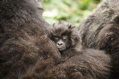 1 Month old Mountain Gorilla Royalty Free Stock Photography