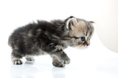1 month old  Scottish straight kitten walking towards Stock Photography