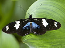 (1) motyla doris longwing Obrazy Stock