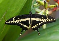 (1) motyli gigantyczny swallowtail Zdjęcia Stock