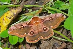(1) motyli trawy saturnidae Zdjęcie Royalty Free