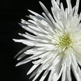 1 mumspindel Royaltyfria Bilder