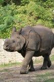 1 noshörning Royaltyfria Bilder